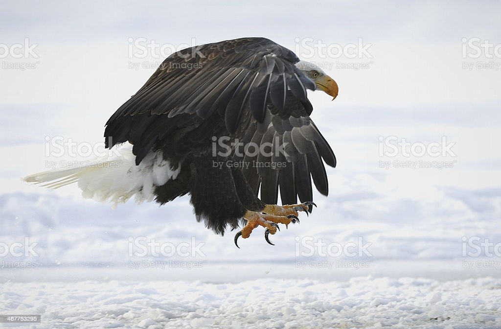 The Bald eagle is landing royalty-free stock photo