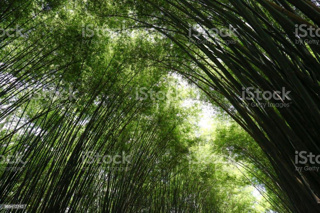 The Bamboo Forest of Thailand - Zbiór zdjęć royalty-free (Azja)
