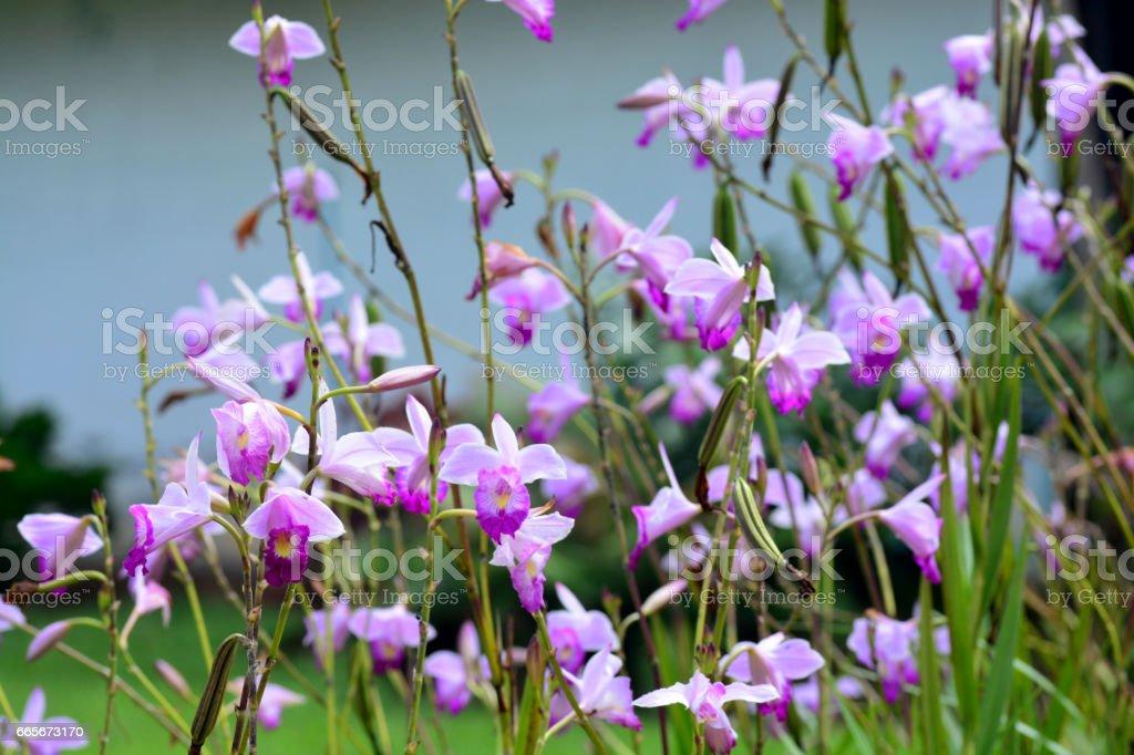 Die Bambusorchidee Arundina Graminifolia Stock Fotografie Und Mehr