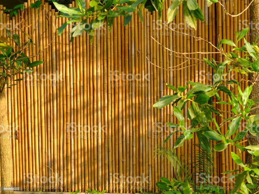 the bamboo wall with green leaf tree under the sunlight stock photo
