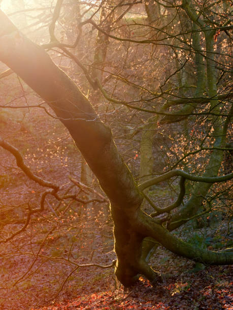 The bare branches of trees in a forest at sunset on an Autumn, winters day. stock photo
