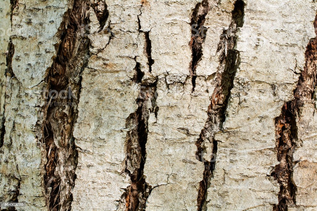 the bark of a Chinese mahogany tree royalty-free stock photo