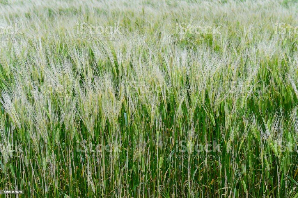 The barley is growing ripe in the field. zbiór zdjęć royalty-free