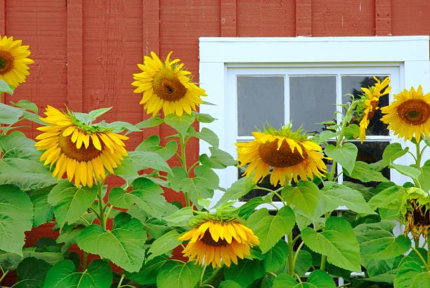 The Barn, A Window, and Seven Sunflowers. stock photo