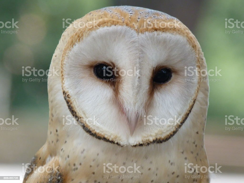 The barn owl stock photo