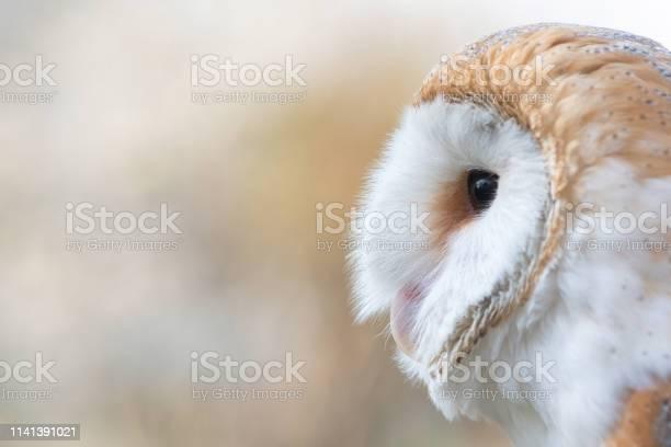 The barn owl tyto alba closeup portrait picture id1141391021?b=1&k=6&m=1141391021&s=612x612&h=e5ovphjrej xnkqy khfbv9znw1y412yslux1sh606i=