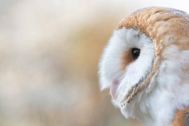 The barn owl tyto alba closeup portrait picture id1141391021?b=1&k=6&m=1141391021&s=612x612&w=0&h=jmw9antvytx8p4dulaa11nab93kht5zfnjcnm3gw1t0=
