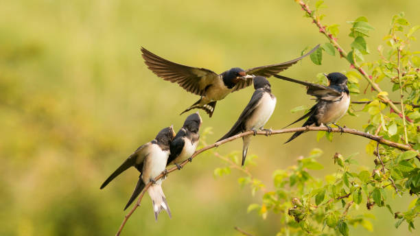 The barn swallow feeds one of its four nestling in flight stock photo