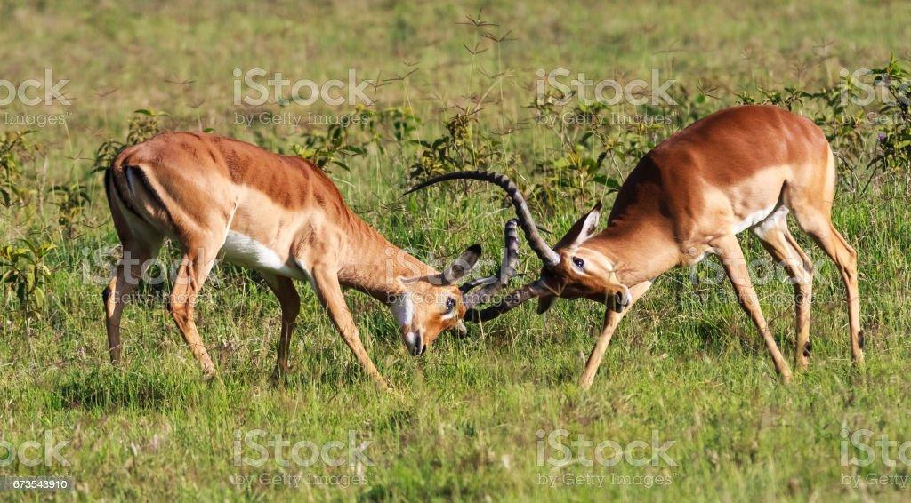 The battle for the female impala. Kenya, Africa royalty-free stock photo
