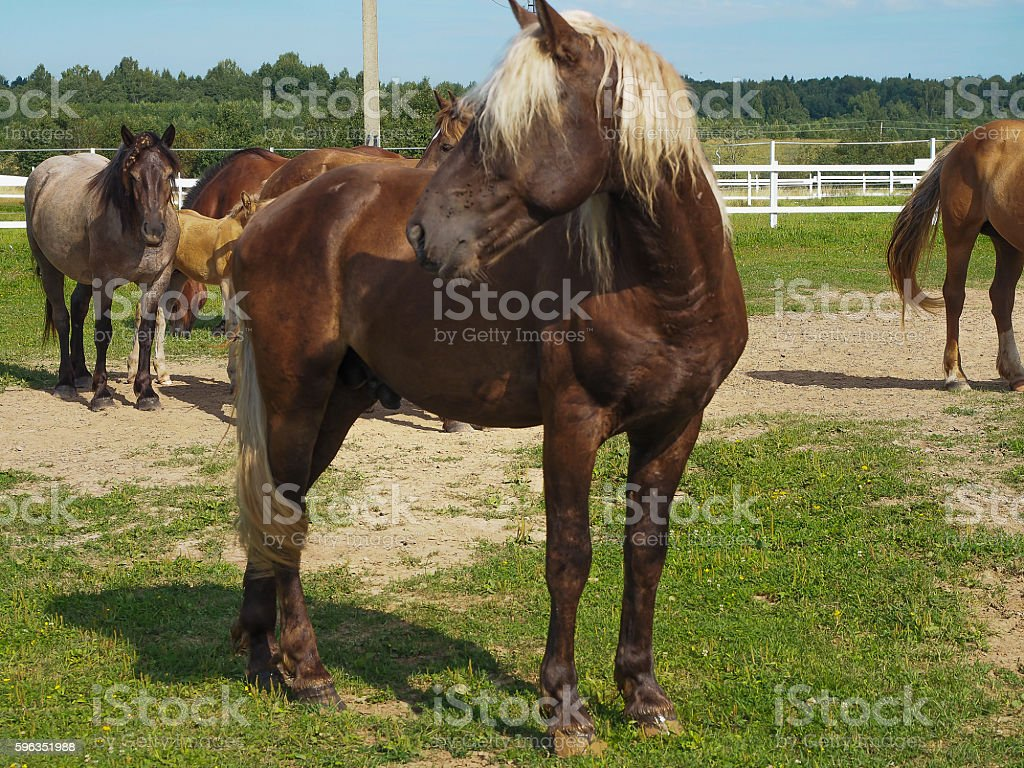 The bay stallion with light mane, Tver region, Russia royalty-free stock photo