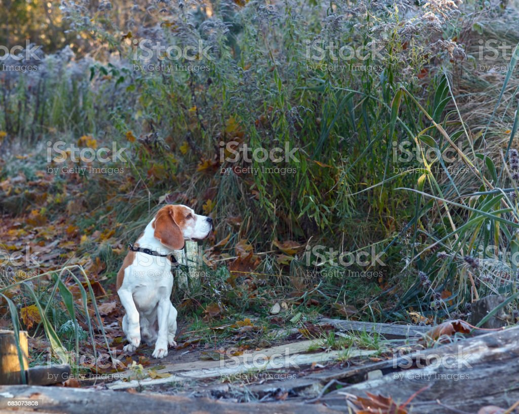 The Beagle in the early morning hunting in the forest foto de stock royalty-free