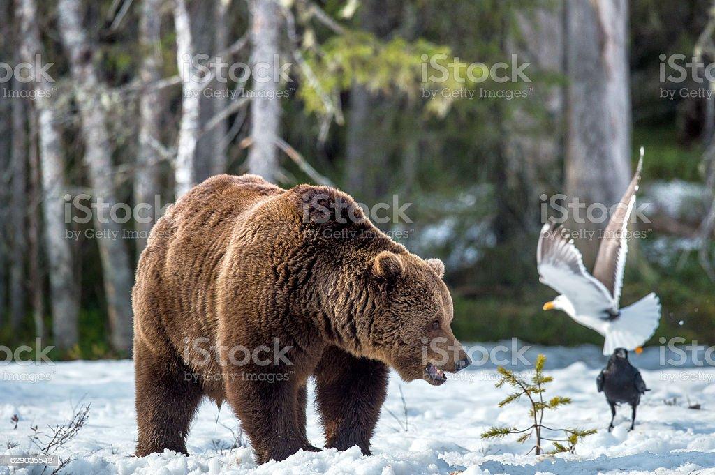 The bear and birds stock photo