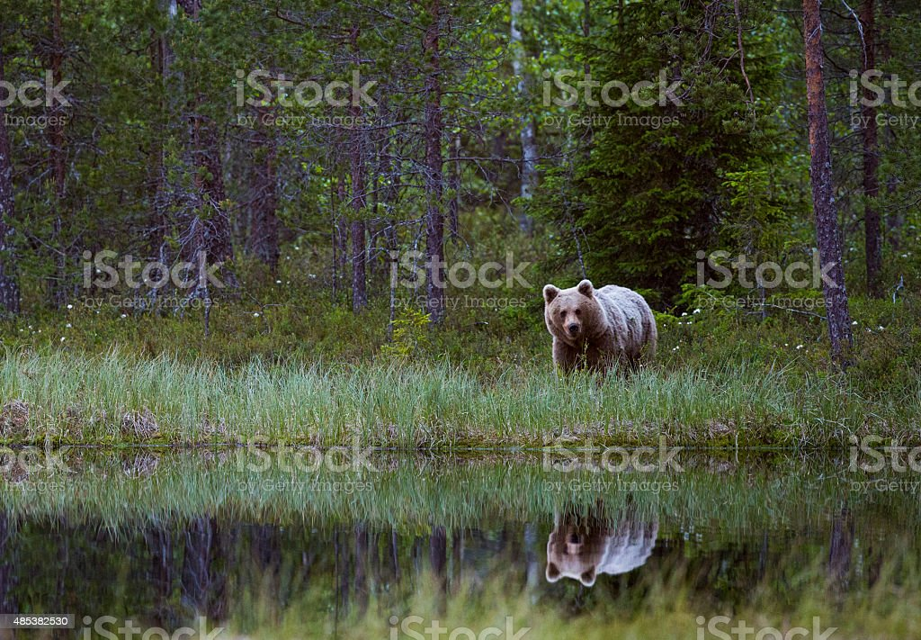 A brown bear at the lake with a nice reflection in the water