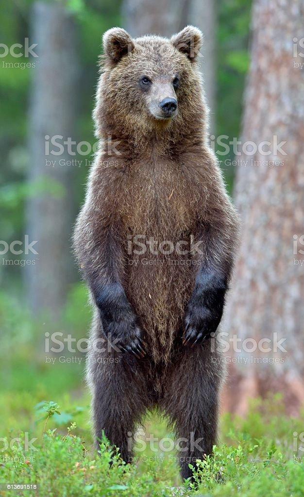 The bear cub standing on hinder legs. - foto de acervo