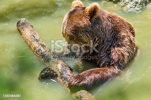 The bear is sitting in the water