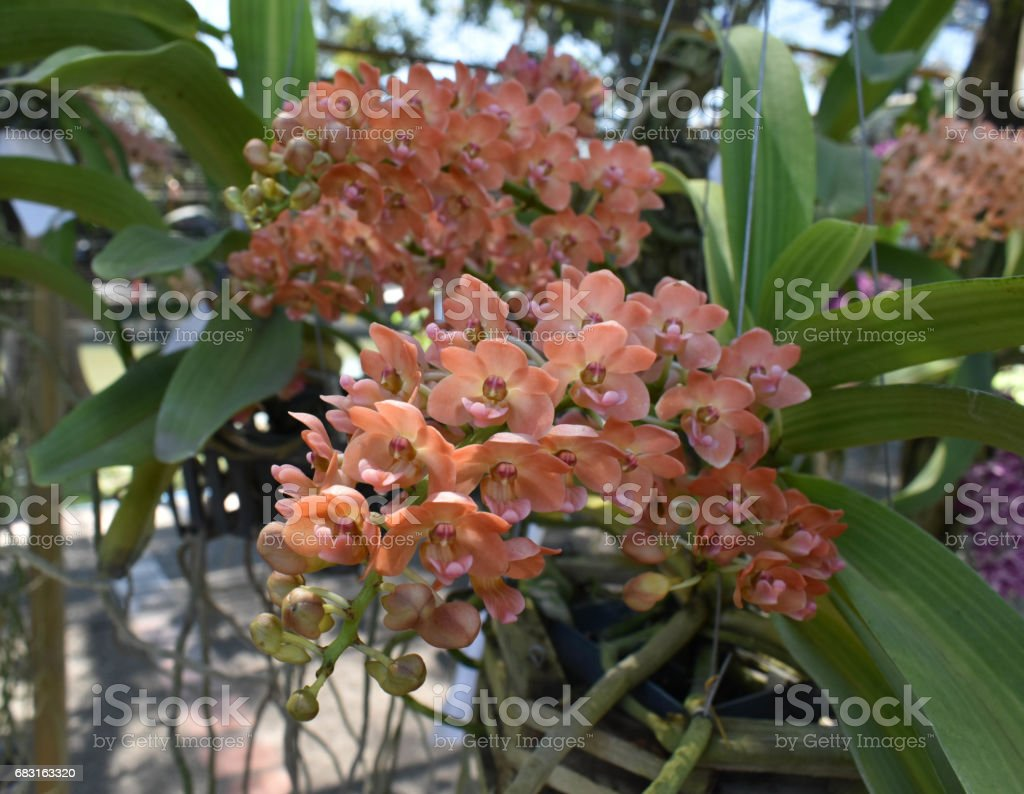 The Beautiful Asian Orchid stock photo