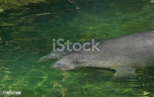 The beautiful Blue Spring State Park is a state park located west of Orange City, Florida, outside of Orlando, in the United States.  The park is home to hundreds of manatees each winter when the ocean and other rivers are too cold for these gentle giants.