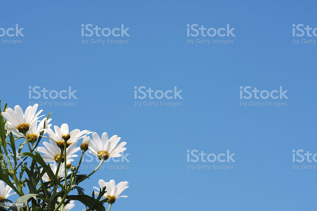 The beautiful daisy royalty-free stock photo