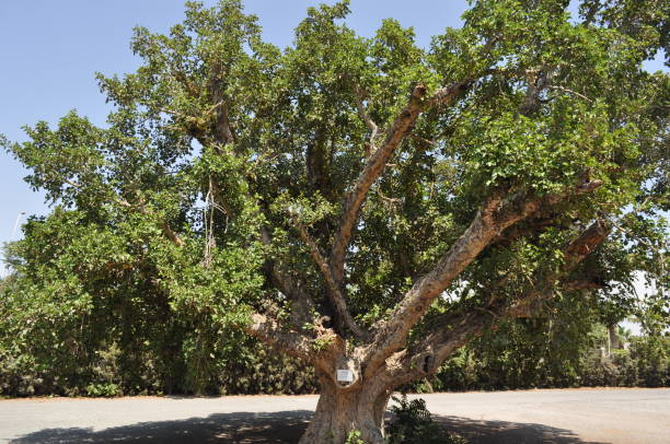 The beautiful Ficus Sycomorus in farmland The beautiful Ficus Sycomorus in farmland sycamore tree stock pictures, royalty-free photos & images