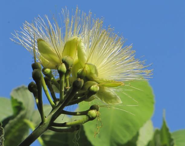 a flor bonita da árvore de pequi - pequi - fotografias e filmes do acervo