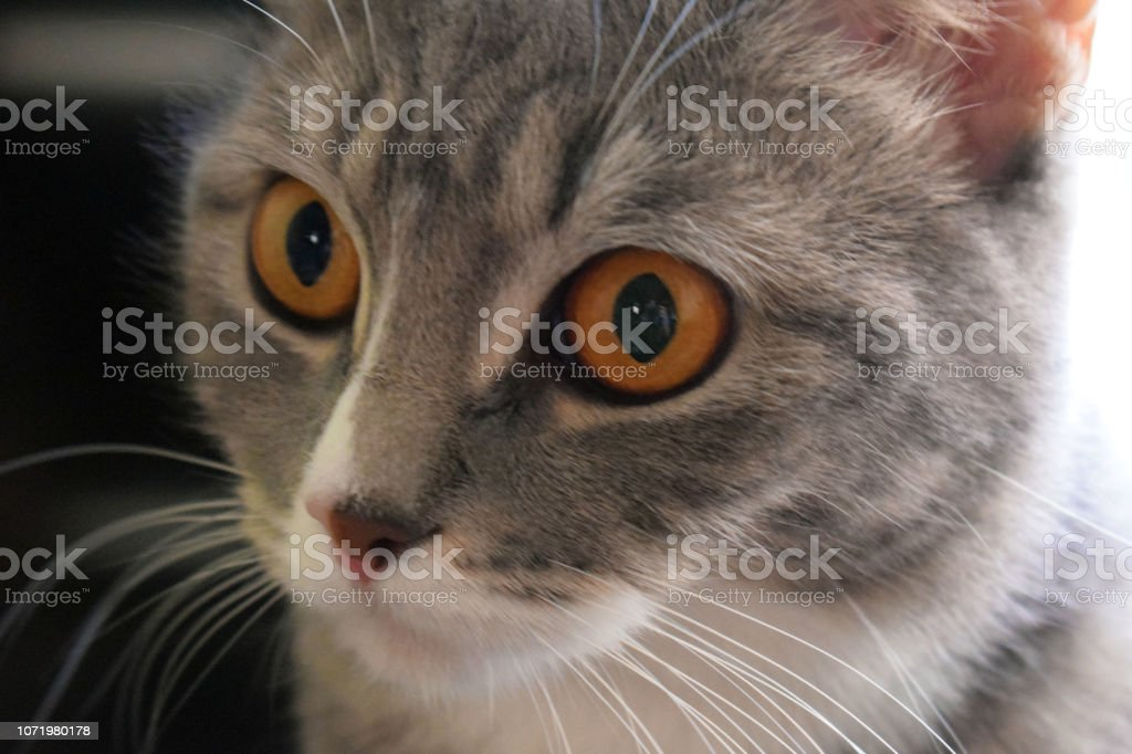 The beautiful gray cat looks big surprised eyes. Favorite pet....