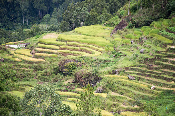 The beautiful green rice field terraces in Batan Pangala The beautiful green rice field terraces in Batan Pangala, North Toraja, Sulawesi, Indonesia. sulawesi stock pictures, royalty-free photos & images