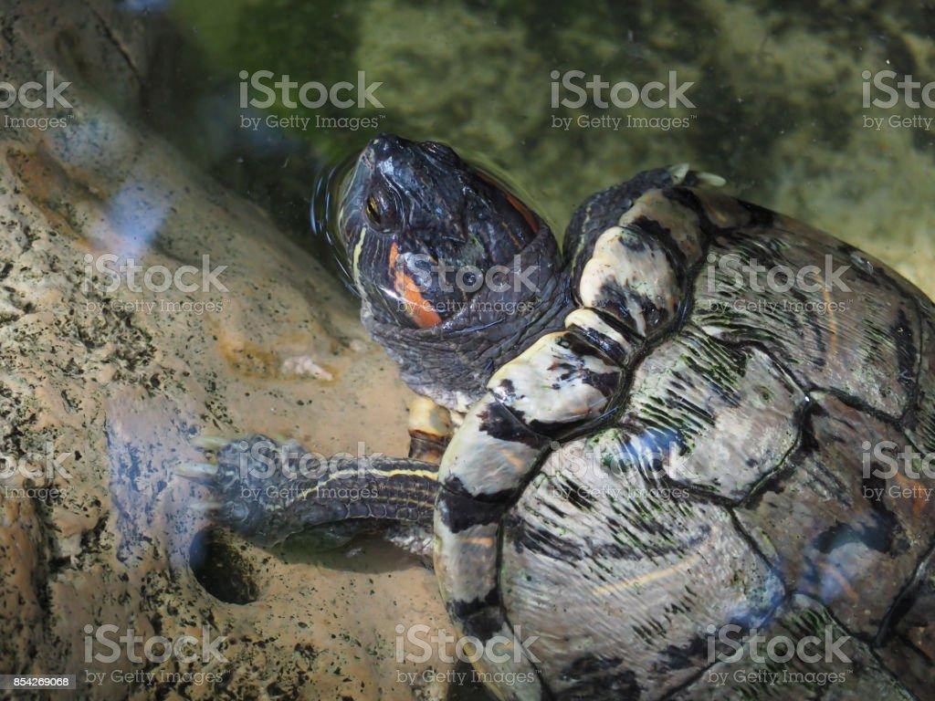 The beautiful little terrapin are swimming in lagoon. stock photo