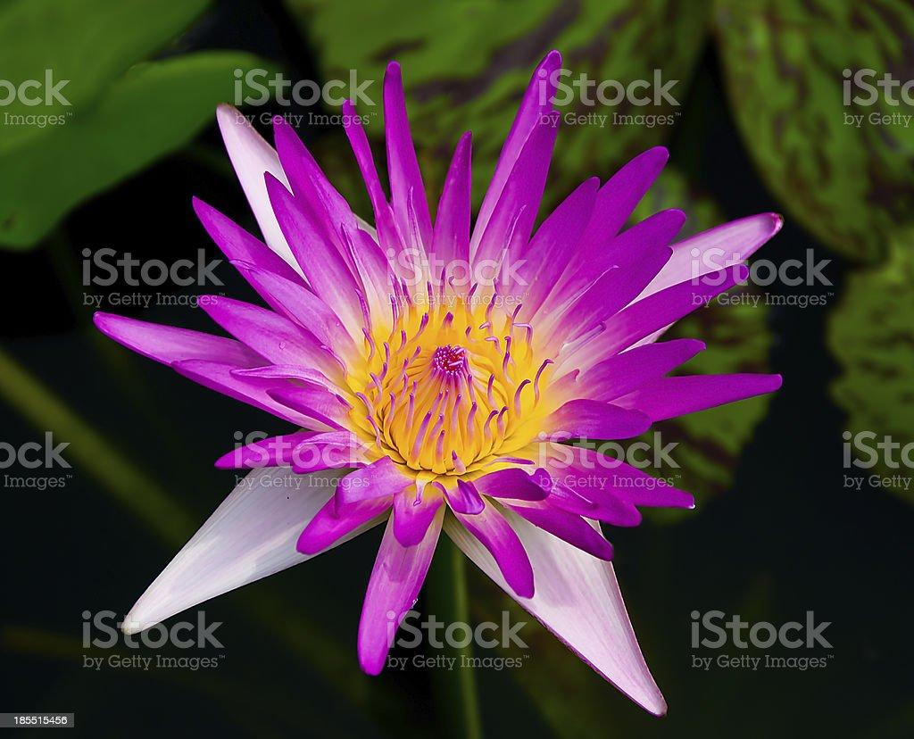 The Beautiful lotus  on pond stock photo
