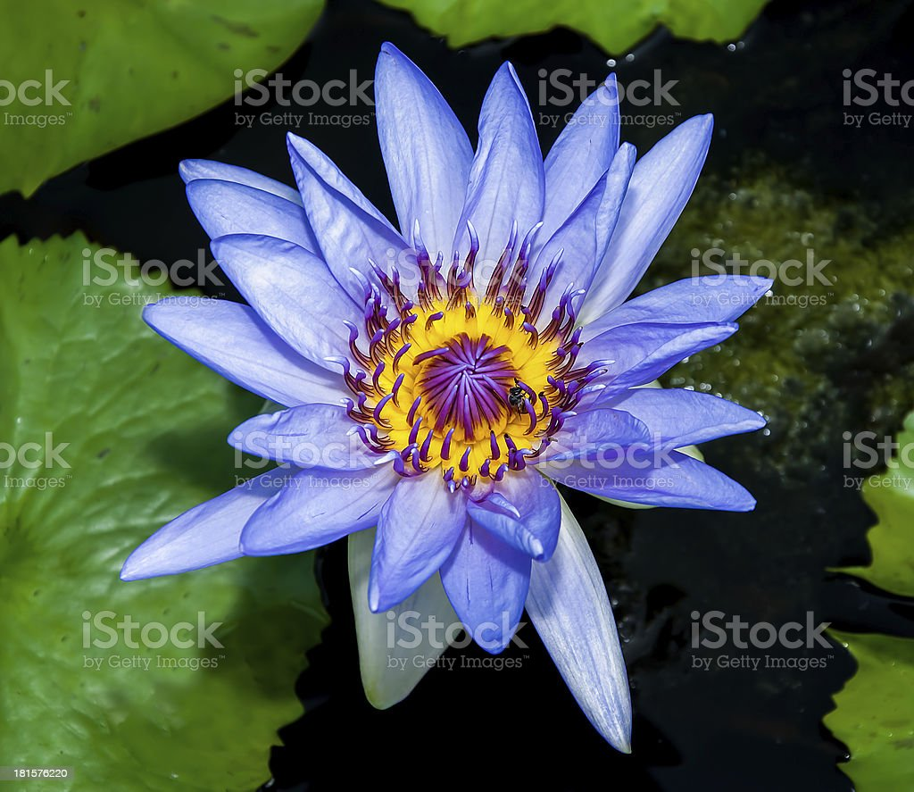 The Beautiful lotus with bee royalty-free stock photo