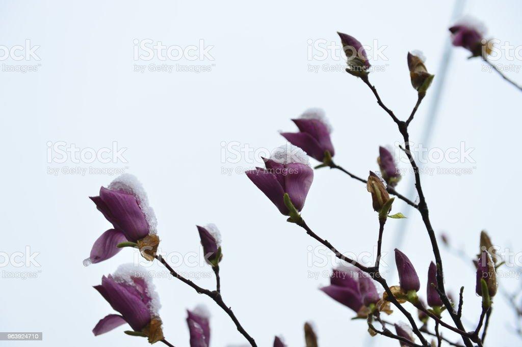 The beautiful magnolia - Royalty-free Blossom Stock Photo