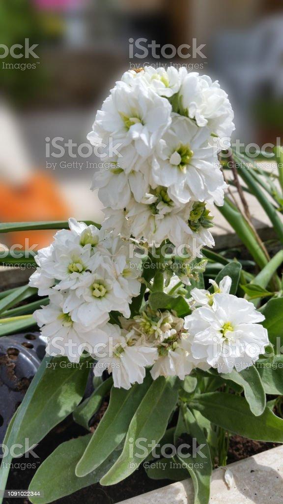 Photo libre de droit de La Belle Giroflée Odorante Fleur Dans Jardin banque  d\'images et plus d\'images libres de droit de {top keyword}