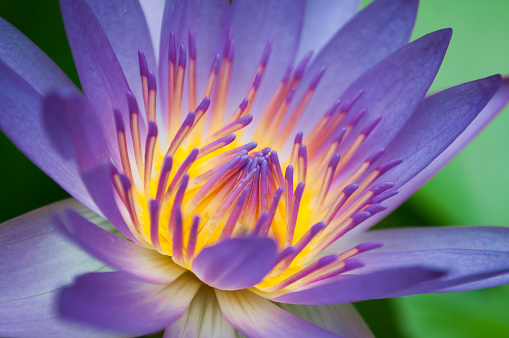 the beautiful of lotus flower or waterlily background