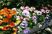 istock The beautiful pansies 1295672626
