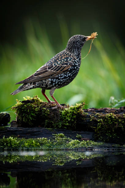 The beautiful picture of Common starling - Sturnus vulgaris. Bird on blurred green background. Wildlife scene from Czech Republic stock photo