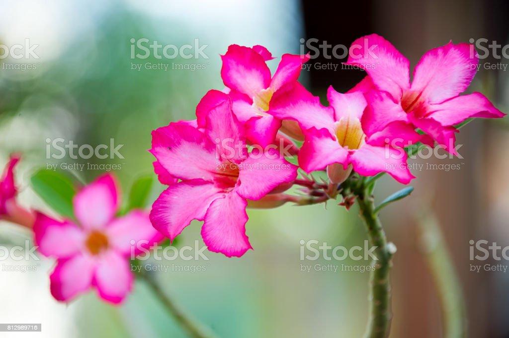 the beautiful pink Adenium stock photo