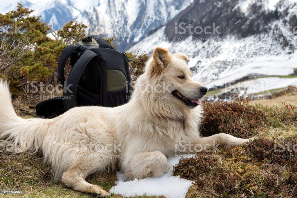 the beautiful Pyrenean Mountain dog stock photo
