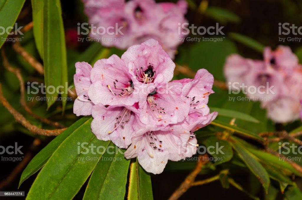 Le Rhododendron bel - vue rapprochée - Photo de Bleu libre de droits