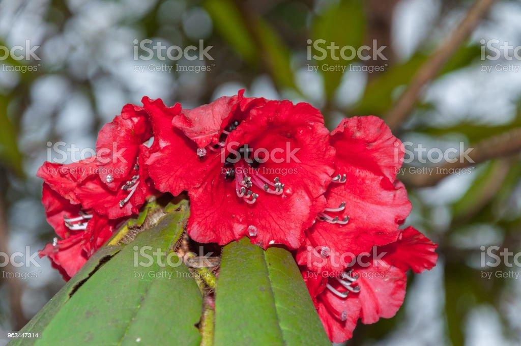 The beautiful Rhododendron - close-up view - Zbiór zdjęć royalty-free (Bez ludzi)