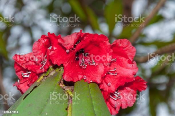 Piękny Rododendron Widok Z Bliska - zdjęcia stockowe i więcej obrazów Bez ludzi