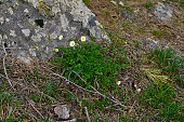 The beautiful spring flowers among the rocks in the Balkan mountains.