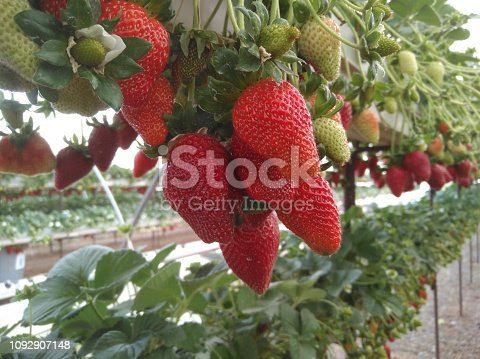 The beautiful strawberry in Greenhouse