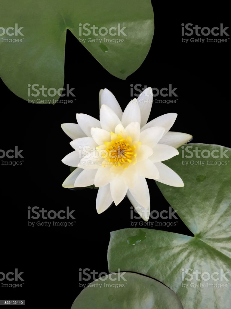 The Beautiful White Lotus Flower Or Water Lily In The Pond Stock
