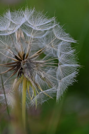 The beauty of a wild flower named taraxacum with petals like small umbrellas in the meadow of the Swiss Prealps. Switzerland
