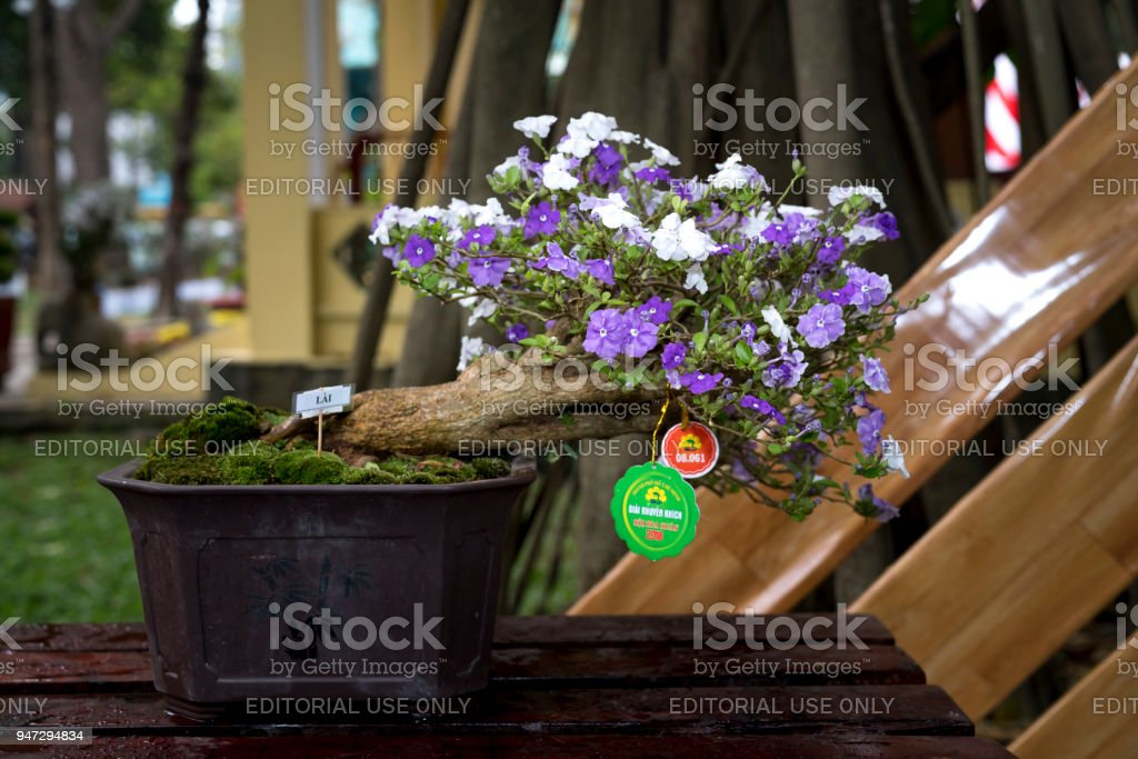 The beauty of bonsai pots hopeana Benth in a flower contest on New Year's Day at Tao Dan Park. HCM city, Vietnam stock photo