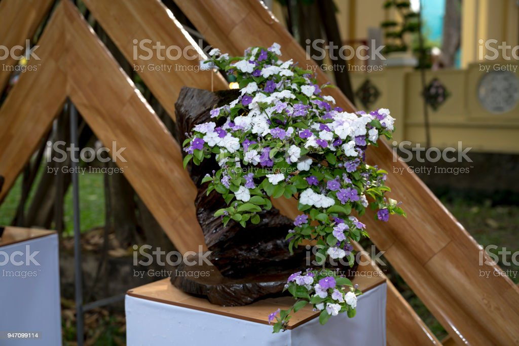 The beauty of bonsai pots hopeana Benth stock photo