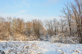 Beautiful landscape with trees under a layer of snow in the forest in cold winter