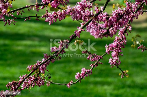 The beauty of redbud tree in blooms in the springtime against a green defocused backdrop.