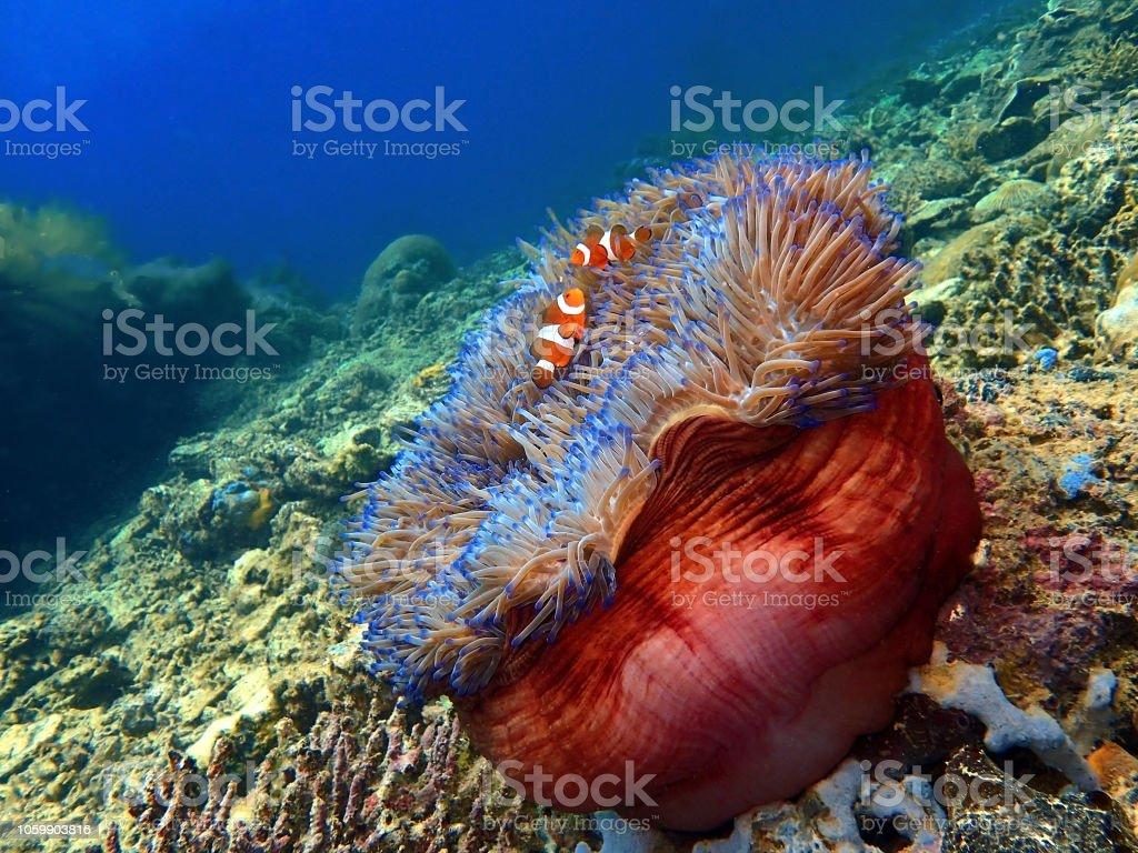 The beauty of underwater world Sabah, Borneo. stock photo