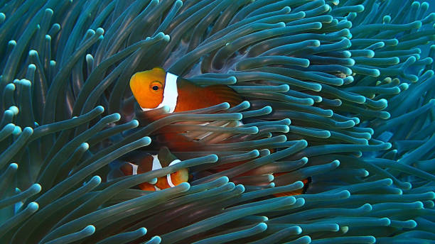 The beauty of underwater world Sabah, Borneo. Marine life, or sea life or ocean life, is the plants, animals and other organisms that live in the salt water of the sea or ocean, or the brackish water of coastal estuaries. anemonefish stock pictures, royalty-free photos & images