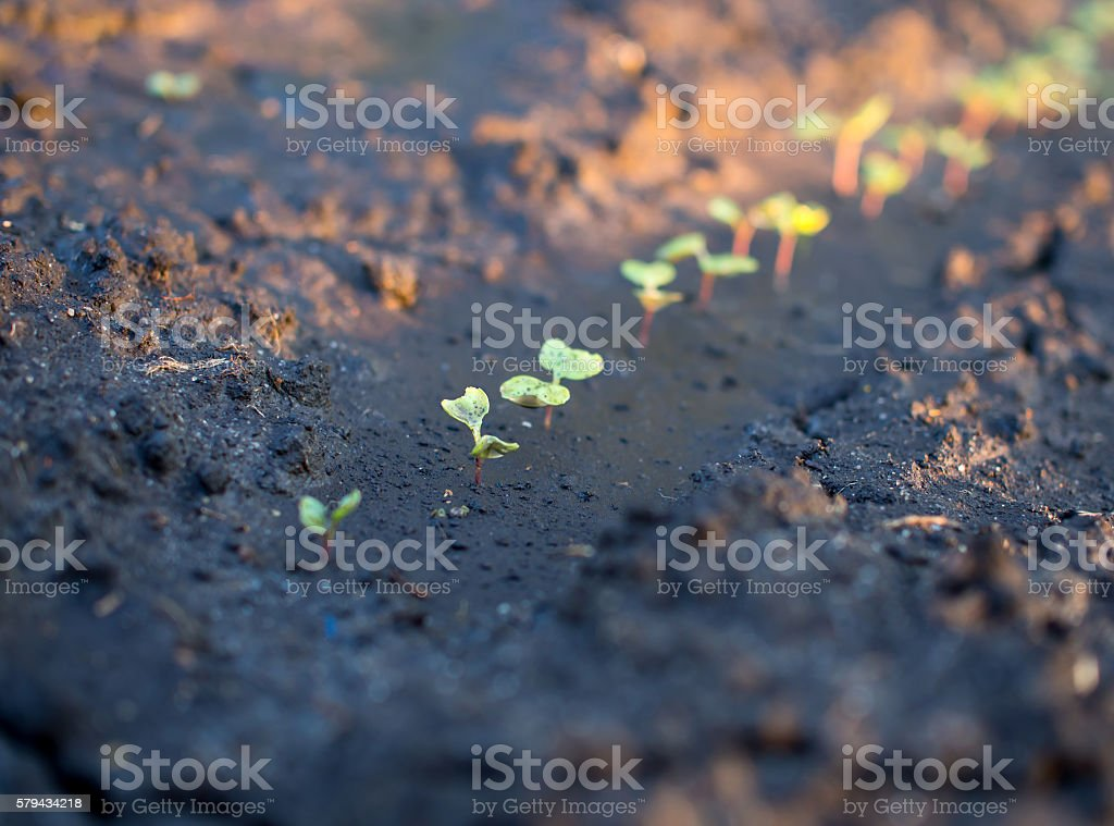 The bed with young shoots of cucumber after watering stock photo